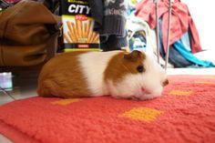 So cute Guinea Pig