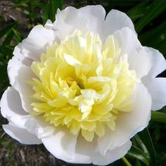Large, very fragrant bloom has an outer ring of creamy white petals surrounding a huge, soft butter yellow center. Fresh Flowers, White Flowers, Beautiful Flowers, Simply Beautiful, All Plants, Garden Plants, Growing Plants, Peonies Garden, Herbaceous Perennials