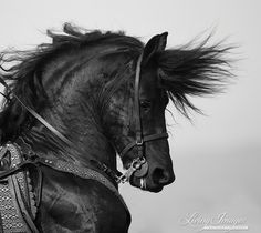 The Fiesty Friesian  Fine Art Horse  Photograph by Carol Walker www.LivingImagesCJW.com