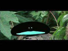 Video del pájaro del paraiso