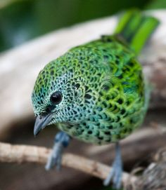 Spotted Tanager