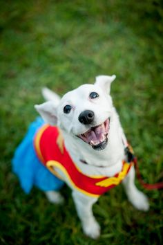 I can't resist sharing this wonderful portrait of Daisy the dog wearing Wonder Woman costume
