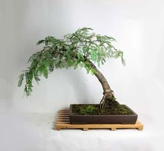 "Mature Tamarind Bonsai Tree ""LiveBonsaiTree Summer Tropical collection"" by LiveBonsaiTree on Etsy"