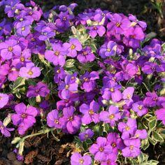 Aubrieta 'Dr. Mules Variegata' (Large Plant) - Perennial & Biennial Plants - Thompson & Morgan