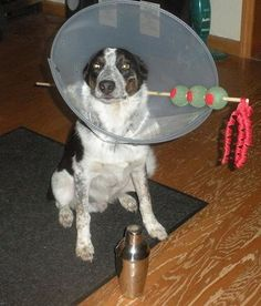 Anyone else want a martini ??  As if the cone of shame wasn't enough, this adds insult to injury !!