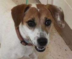 """""""LADY BIRD"""" is waiting for her forever home. She is an adoptable Jack Russell Terrier & Beagle Mix • Female •  located at  Little Nuggets Rescue in Snellville, GA"""