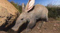 VIDEO. Un petit oryctérope du Cap fait ses premiers pas dans un zoo hongrois