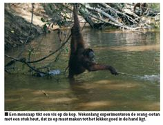 http://tsjok45.wordpress.com/2012/12/13/primaten-in-gevaar/  vissende orang
