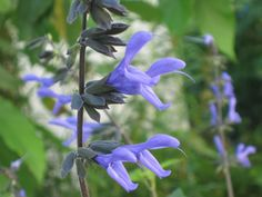 Salvia guaranitica Salvia azul _ Plantas Nativas de Buenos Aires y alrededores
