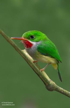 Puerto Rican Tody (Todus Mexicanus). Known in Puerto Rico as San Pedrito. Endemic species.