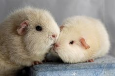 Guinea Pig Kisses | by bivoir