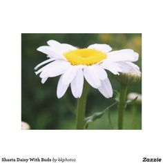 Shasta Daisy With Buds Canvas Prints By Kay Novy (kkphoto1)