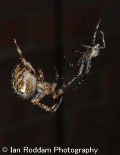 Male (on right) tries to approach larger female Garden Spider, Larger, Female, Storage