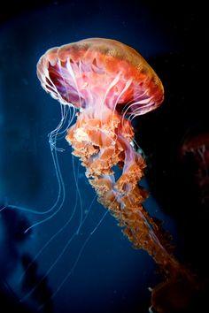 Jellyfish-Chrysoara, west coast sea nettle - Photograph at BetterPhoto.com