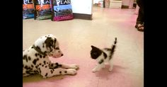 Dalmatian Puppy Meets A Kitten And It's An AWWWW Moment! | The Animal Rescue Site Blog