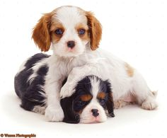 And Tricolour Cavalier King Charles Spaniel Puppies 8 Weeks Old