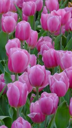 Tips On Sending The Perfect Arrangement Of Flowers – Ideas For Great Gardens Exotic Flowers, Amazing Flowers, Pretty Flowers, Tulips Garden, Planting Flowers, Spring Blooms, Spring Flowers, Tulips Images, Beautiful Flowers Wallpapers