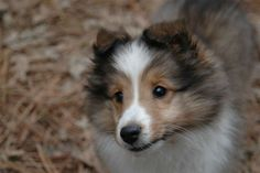 super cute Shetland Sheepdog puppy
