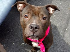 TO BE DESTROYED - 04/20/14 Manhattan Center -P  My name is MARY J. My Animal ID # is A0996043. I am a female black and white pit bull mix. The shelter thinks I am about 5 YEARS old.  I came in the shelter as a SEIZED on 04/08/2014 from NY 10031, owner surrender reason stated was OWN EVICT. I came in with Group/Litter #K14-173210.  https://www.facebook.com/photo.php?fbid=786547474691467&set=a.611290788883804.1073741851.152876678058553&type=3&theater