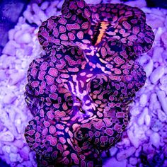 Tridacna Squomosa Crocea Hybrid Clam