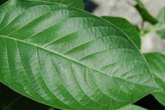 Canadian Botanicals supplies fresh, organic Premium Kratom. Whether you are looking for kratom powder, kratom tea or kratom capsules.