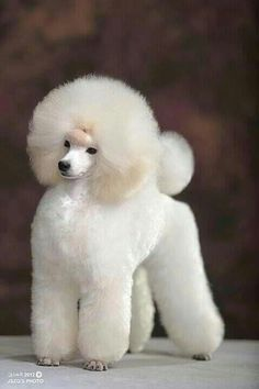 Bellissima <3 white show poodle