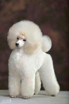 Toy Poodle. Esto es glamour canino en su máxima expresión....