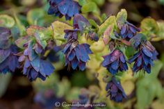 Loved this Cerinthe Major on display in the Kaydale Gardens in Tasmania. This one is 'Purpurascens' I believe.