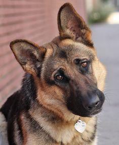 German Shepherd Rescue, Belgian Shepherd, German Shepherds, Schaefer, Puppy Eyes, Mans Best Friend, Cute Puppies, Best Dogs, Terrier
