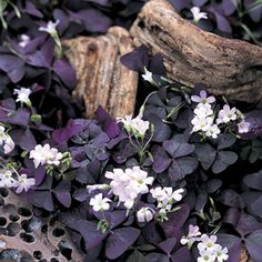 Oxalis deppei 'Iron Cross' flowering size The Good Luck Plant Oxalis Iron Cross produces four leaf clover foliage and smashing pink flowers. house plant give it the most sun you can. Black Flowers, Pink Flowers, Oxalis Triangularis, Purple Shamrock, Garden Types, Good Luck, Shade Garden, Houseplants, Naturaleza