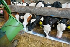 A primer on the basic rules for raising livestock, including feed for livestock, living space, livestock as food and the production of an abundance of manure.