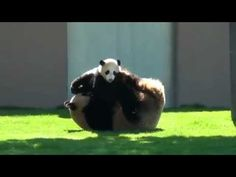 beibei the giant panda videos download