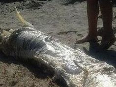 Mysterious 'horned' sea monster washed ashore in Spain on 8/21/13.  The entire carcass with the head stretched 13 feet, and scientists nor officials were able to identify it due to decomposition.  Some guesses were a Loch Ness type species, water dinosaur, sea dragon, a mutant fish, or an oarfish.