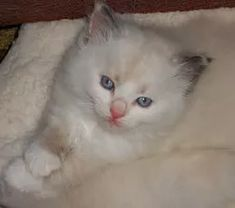 ragamuffin breeders Ragamuffin Kittens, Cats, Animals, Gatos, Animales, Animaux, Animal, Cat, Animais