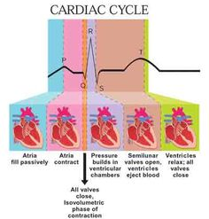 Phases of Cardiac Cycle PQRST Heart Rhythm Interpretation Physiology of the H. Cardiac Nursing, Nursing Mnemonics, Cardiac Cycle, Ekg Interpretation, Rn School, Medical School, Nursing School Notes, Nursing Tips, Nclex
