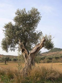 Olivo tomada en Alcorisa (Teruel)