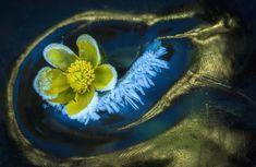 Tavasz télen (Növények és gombák kategória)2014-ben az enyhe télnek köszönhetően már karácsonykor találtam nyíló mocsári gólyahíreket. Később, amikor az év vége felé beköszöntöttek a hidegek, gondoltam, hogy megnézem, mi történt a virágokkal. Szilveszter napján visszamentem, és csodálatos látvány fogadott: a virágok a jégbe fagyva, zúzmarásan feküdtek.