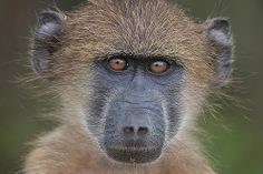 Chacma Baboon - photo by Gavin Emmons, via Flickr;  Kruger National Park, South Africa