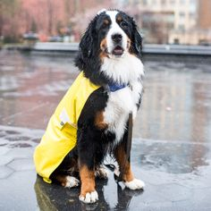 "Memphis Bernese Mountain Dog y/o) Washington Square Park New York NY ""I horseback ride and he loves to go Upstate with me. I say 'Memphis let's go to the farm!' and he goes and grabs his leash and waits by the door. Animals And Pets, Funny Animals, Cute Animals, Entlebucher, Swiss Mountain Dogs, Washington Square Park, Puppy Clothes, Bernese Mountain, Working Dogs"