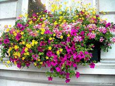 Flower Garden Ideas Full Sun full sun plants for window boxes | gardening veggies, herbs, and