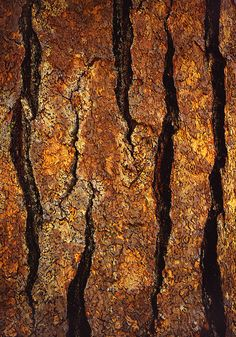Tree Bark, Yosemite National Park, CA. Natural Forms, Natural Texture, Patterns In Nature, Textures Patterns, Textured Walls, Textured Background, Wooden Textures, Tree Leaves, Tree Bark