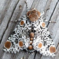 Harris' Three Spot moth