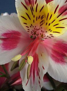 Alstroemeria - Flickr - Photo Sharing!