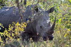 The Hluhluwe-Imfolozi Game Reserve and its rangers played a significant role in bringing back rhino from the brink of extinction