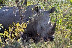 Rhino in Hluhluwe Imfolozi Reserve