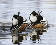 Competing male Hooded Mergansers - Photo by Angela Vogel - Friends of the Ridgefield National Wildlife Refuge