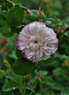 Oh, my.  Rosa 'Léda' (U.K., before 1827)