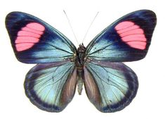 The Painted Beauty butterfly (Batesia hypochlora)