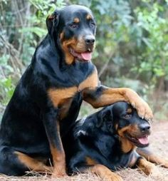 20 Seriously Adorable & Funny Rottweiler Pictures ALL Rotty Fans Will Love - Page 15 of 20 - Barmy Pets Cute Puppies, Dogs And Puppies, Cute Dogs, Chihuahua Dogs, Pomeranian Dogs, Big Dogs, I Love Dogs, Beautiful Dogs, Animals Beautiful