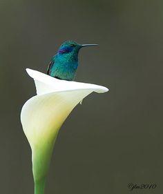 """My Secret Place"" : A Green-violet-eared hummingbird > Taken by Judylynn Malloch from Costa Rica."